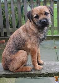 bedlington terrier guide best 20 border terrier ideas on pinterest border terrier puppy
