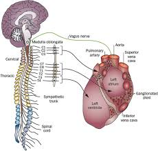 Nervous System Human Anatomy Role Of The Autonomic Nervous System In Modulating Cardiac