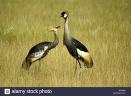 grey gray crowned crane with juvenile kenya stock photo