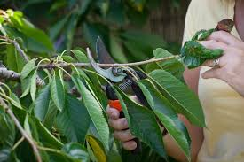 Prune Fruit Trees How Do I Prune Cherry Trees U2013 Which Gardening Helpdesk