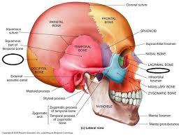 Anatomy Of The Human Skeleton Best 20 Sphenoid Bone Ideas On Pinterest Bones Anatomy