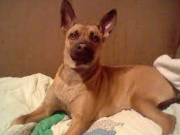 belgian shepherd vs pitbull fight malinois pitbull mix very rare dog breed anyone else with similar