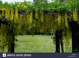 yellow laburnum flowers flowers racemes cover covering covered