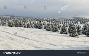 douglas fir christmas tree farm covered stock photo 696824593