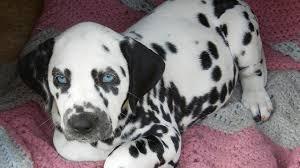dalmatian puppies melt heart