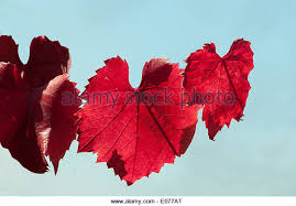 vitis vinifera ornamental grape vine stock photos vitis vinifera