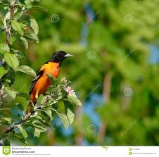 baltimore oriole bird royalty free stock images image 2472869