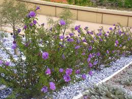 australian native ground cover plants alyogyne huegelii garden pinterest planting hibiscus and