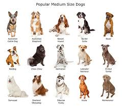 4 australian shepherd x dalmation why medium size dog breeds rule