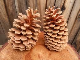 white pine cone pine cones