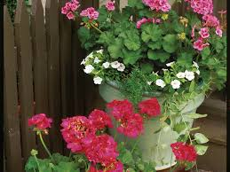 high heat plants plant geraniums in containers southern living