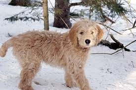 afghan hound poodle cross goldendoodle golden retriever poodle mix dogable