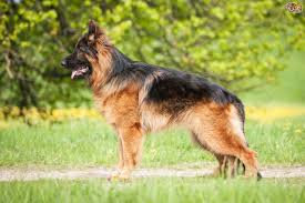 Do All Short Haired Dogs Shed by Dealing With Your German Shepherd U0027s Coat Shedding Cycle Pets4homes