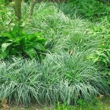 grass like plant perennial ornamental grasses small ornamental