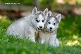 puppies for sale customer reviews siberian husky puppies for sale