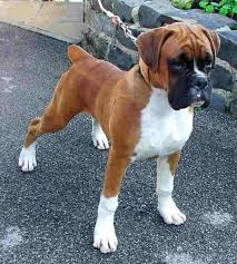 boxer dog 9 years old 25 best boxer dogs ideas on pinterest boxer baby boxer puppies