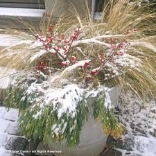 ornamental grasses in winter janet davis explores colour