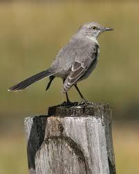 Florida Backyard Birds - mockingbird florida u0027s state bird all god u0027s creatures great