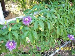 passion fruit vine deck trellis garden pinterest trellis