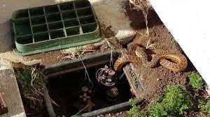 backyard wildlife snake eating a gopher youtube