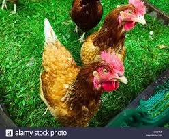 backyard chickens in their coop stock photo royalty free image