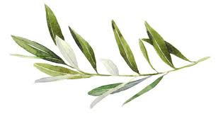 watercolor olive branch on white background watercolor
