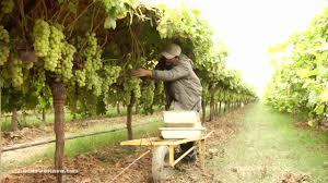 autumn king grapes youtube