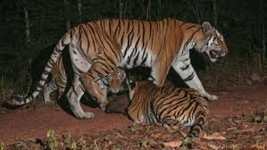 indochinese tiger and cubs in eastern fewer than 250