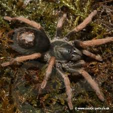 tarantulas for sale buy tarantulas at pets uk