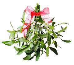 christmas plants mistletoe and other festive foliage was originally
