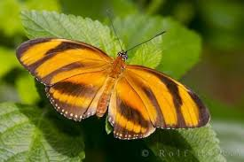 orange tiger butterfly photo information
