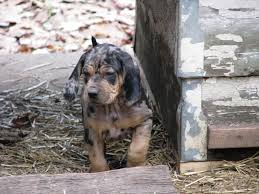 bluetick coonhound puppies for sale leopard pup for sale biggamehoundsmen com