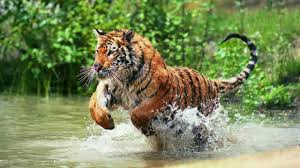 royal bengal tiger attack in the jungle