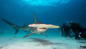 sharks in bimini best place to see and explore sharks