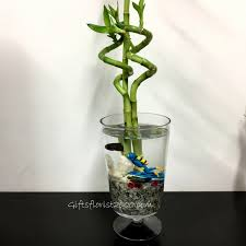 Betta Fish Vase With Bamboo Lucky Bamboo Chinese New Year Gifts Lunar New Year Plants