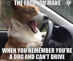 Dog Bacon Meme - the face you make when you remember you re a dog and can t drive meme