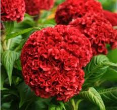 coxcomb flower flowers by color bouquet wedding flower