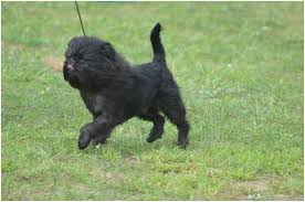 affenpinscher youtube the smallest dog in the world 11 small breed dogs 2017
