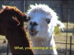 Alpaca Meme - llama doesn t like you looking at it youtube
