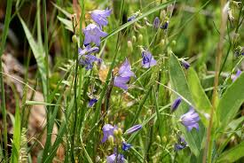 Blue And Purple Flowers Natural Resources Summer Wildflowers