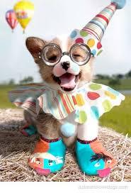 Corgi Birthday Meme - animal laughing on his birthday funny picture