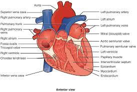 ou human physiology heart anatomy