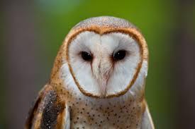 What Does A Barn Owl Look Like Barn Owls In Texas Barn Owl Box Company