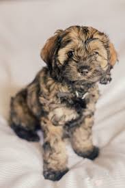 Do Cockapoo Dogs Shed A Lot by Cockapoo Puppies 1 Sable Left Cockapoos Pinterest Cockapoo