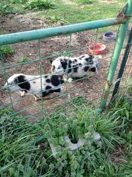is my pot belly pig pregnant page 2 backyard chickens