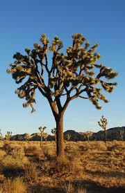 native nevada plants joshua tree a xerophyte from greek xero dry phuton plant is a