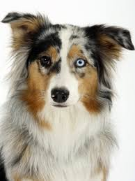 australian shepherd eye color genetics canine coat colors and patterns