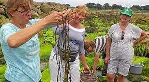 cuisiner les algues cueillir et cuisiner les algues à poul rodou
