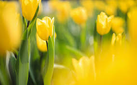 spring tulip flowers yellow macro blur photo nature wallpaper