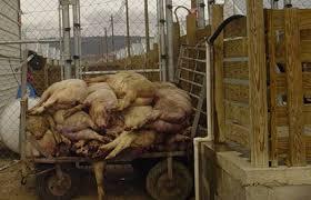Um holocausto de porquinhos acompanhou a gripe suína. Fonte: riderdownload.com